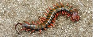 Centipede in Hawaii