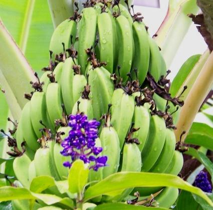 Hawaii Bananas Could Be Set For Resurgence