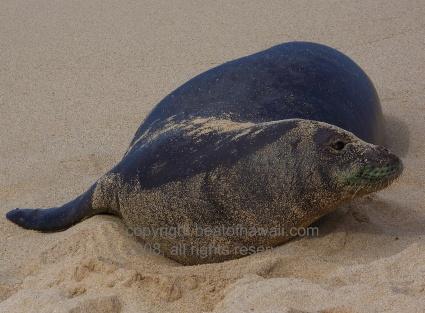 Monk Seal At Brennecke's Beach Park, Kauai