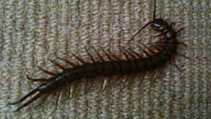 Centipede Bite In Hawaii