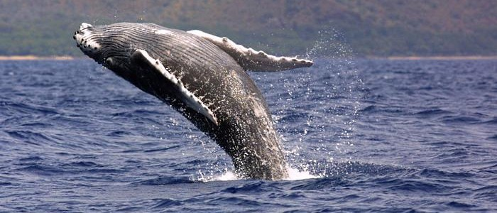 Humpback Whale Season Is Coming Soon to Hawaii
