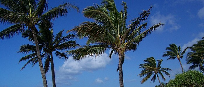 Hawaii Palm Trees