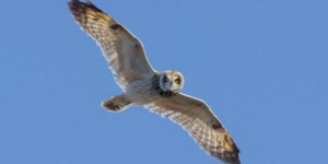 Update | You Can Protect Owls in Hawaii
