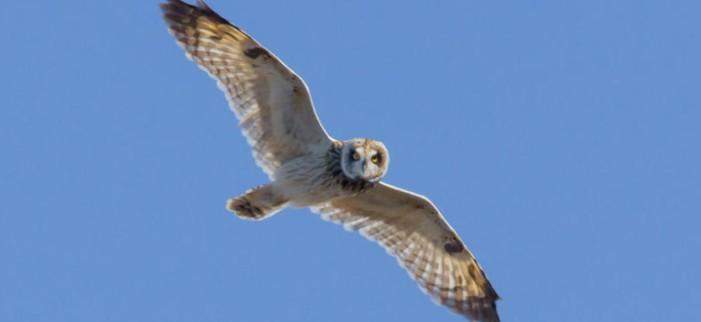 Owls in Hawaii