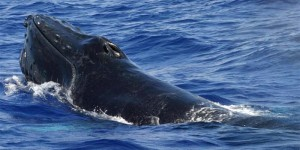 Become A Hawaii Whale Count Volunteer Or Sponsor