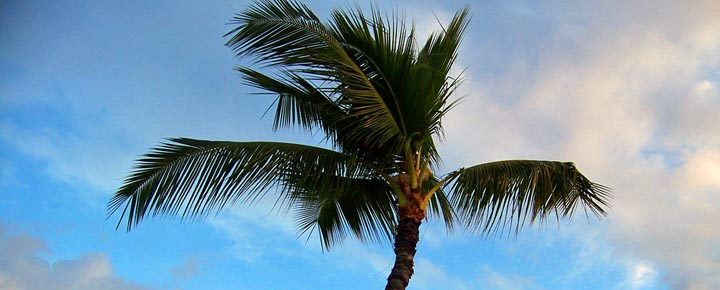 Hawaii palm tree