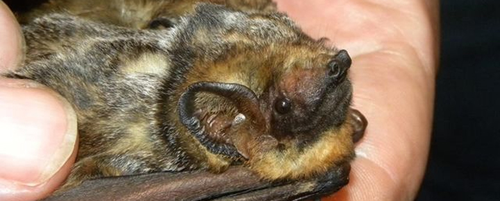 Bats In Hawaii Our New State Mammal