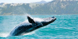 Why Humpback Whales in Hawaii Are Missing