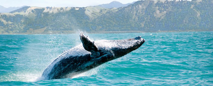 Beat of Hawaii Humpback whales in Hawaii