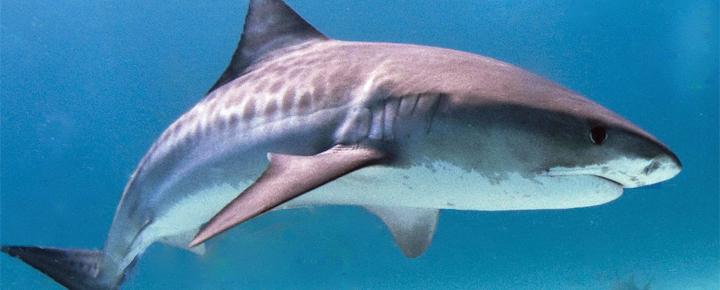 Shark on Kauai