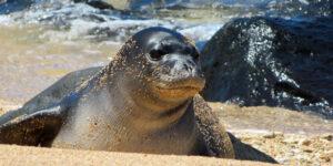 Hawaiian Monk Seals: Newborn at Waikiki. Respect Our Endangered Mammals.