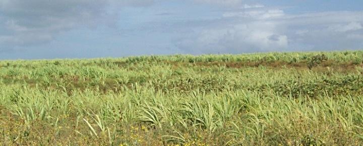 Hawaii sugar cane